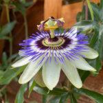 A13 1st Lisa Colbourne blue passion - passiflora caerulea